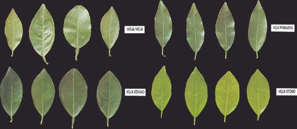 Diagnóstico nutricional de plantaciones de cítricos