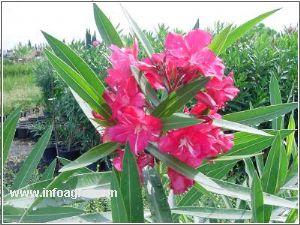Vendo adelfa nerium oleander adelfa nerium oleander for Vendo plantas ornamentales
