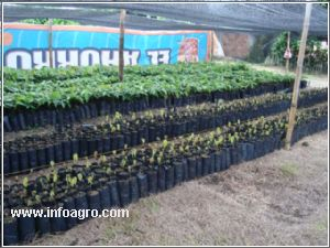 Se vende vivero agroforestal el mangostino for Viveros en escobar