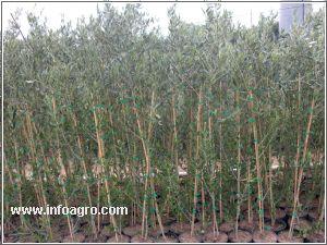 Se vende plantas de olivo viveros oliplant bujalance for Viveros de olivos