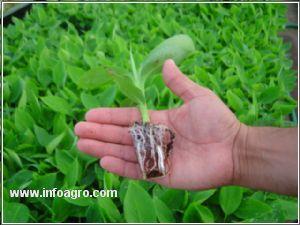 Se vende micro propagador de plantas in vitro platano for Vendo plantas ornamentales