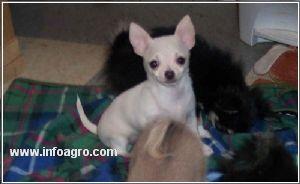 Se vende chihuahua cachorros raza pura para el nuevo hogar for Vendo chihuahua barcelona