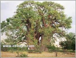 Se vende semillas y mas semillas de arboles ornamentales for Vendo plantas ornamentales