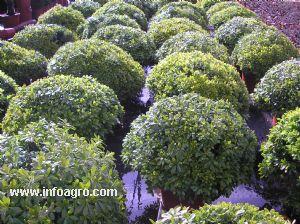 Se vende plantas ornamentales para el jardin paiporta for Vendo plantas ornamentales