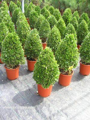 Tipos de arboles para jardin tipos de arboles para jardin for Arboles ornamentales jardin