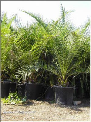 Se vende vivero de palmeras wasingtonia alcanar for Viveros alcanar