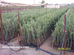 Se vende olivos viveros de olivo la conchuela for Viveros de olivos