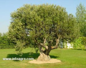 Se vende olivos centenarios compra local o exportacion - Compra de olivos centenarios ...
