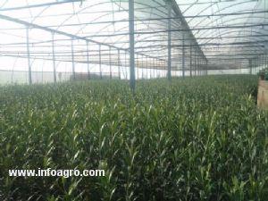 Se vende de plantones de olivo viveros a 92 la puebla de for Viveros de olivos