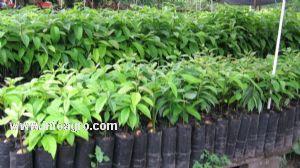 Se vende de arboles frutales injertos para todos los climas for Viveros frutales bogota