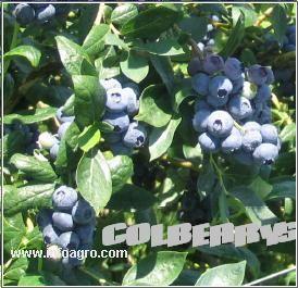 Se vende plantulas de arandano for Viveros frutales bogota