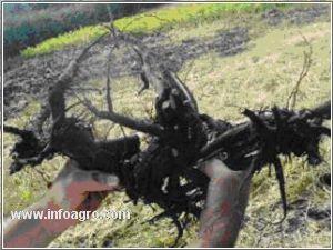 Vendo rizomas de peonias y otros bulbos rizomas rizomas for Vendo plantas ornamentales