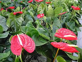 Cultivo Del Anthurium Para Flor Cortada