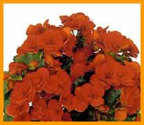 Begonia tuberose reproduccion asexual de las plantas