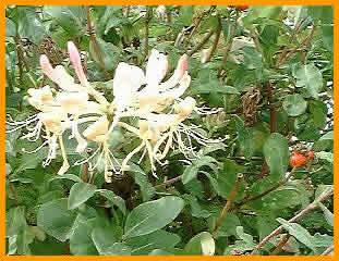Trepadoras en jardiner a 1 parte for Plantas trepadoras para pergolas