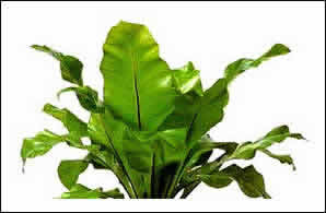 de color verde amarillento brillante con fuertes nervios negros se cultiva en invernadero climatizado es una magnfica planta de interior - Plantas Verdes De Interior