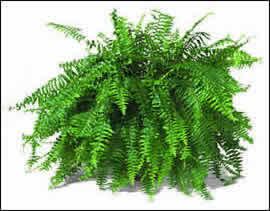 Agricultura el cultivo del helecho for Plantas ornamentales helechos
