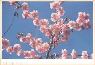 Agricultura el cultivo de la cereza 1 parte - Poda del cerezo joven ...