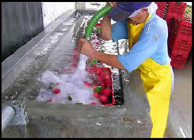 Que es el manejo de cosecha y poscosecha de frutas y hortalizas
