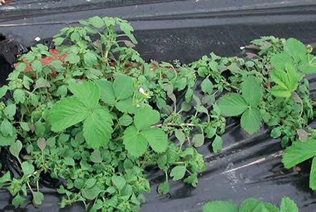 La desinfecci n como medio de control de la fatiga del suelo for Alelopatia en hortalizas