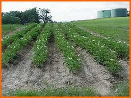 Proyectos seguimos con el experimento patata del curso for Como cultivar patatas