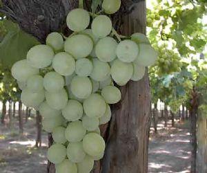 Agricultura y empresarios del sector colaboran para obtener nuevas variedades de uva de mesa - Variedades de uva de mesa ...