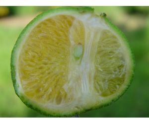 El greening nueva enfermedad de los c tricos for Enfermedades citricos fotos