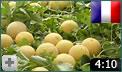 video astuces pour cultiver le melon   1 2 infoagro