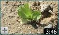 video cultivo de la lechuga  2  parte infoagro