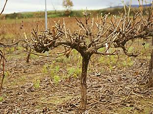 Comportamiento del vi edo vitis vinifera l ante experiencias plurianuales de poda mec nica y - Poda de hortensias epoca ...
