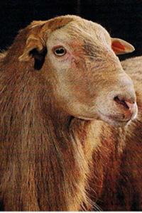 Razas de ovinos de pelo corto